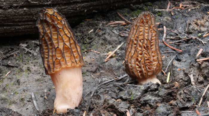 Morchella anthracophila at a burn near Wenatchee, WA. Photo by Dick Morrison