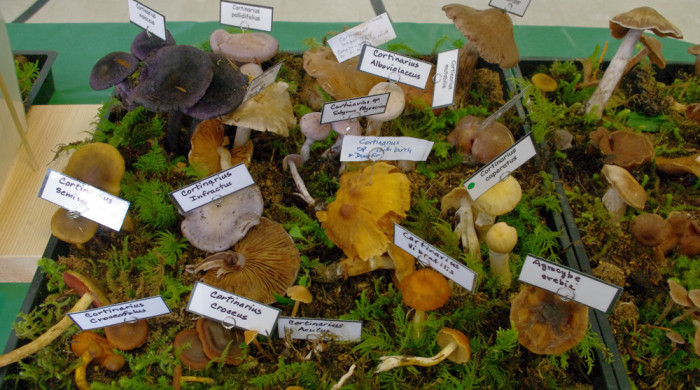 A few Whatcom County corts at the 2014 mushroom show