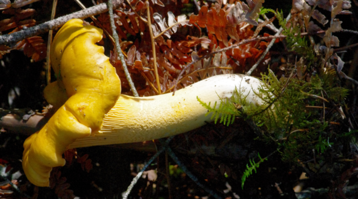 Yellow chanterelle Mt-Baker Snoqualmie National Forest. Photo: Erin Moore